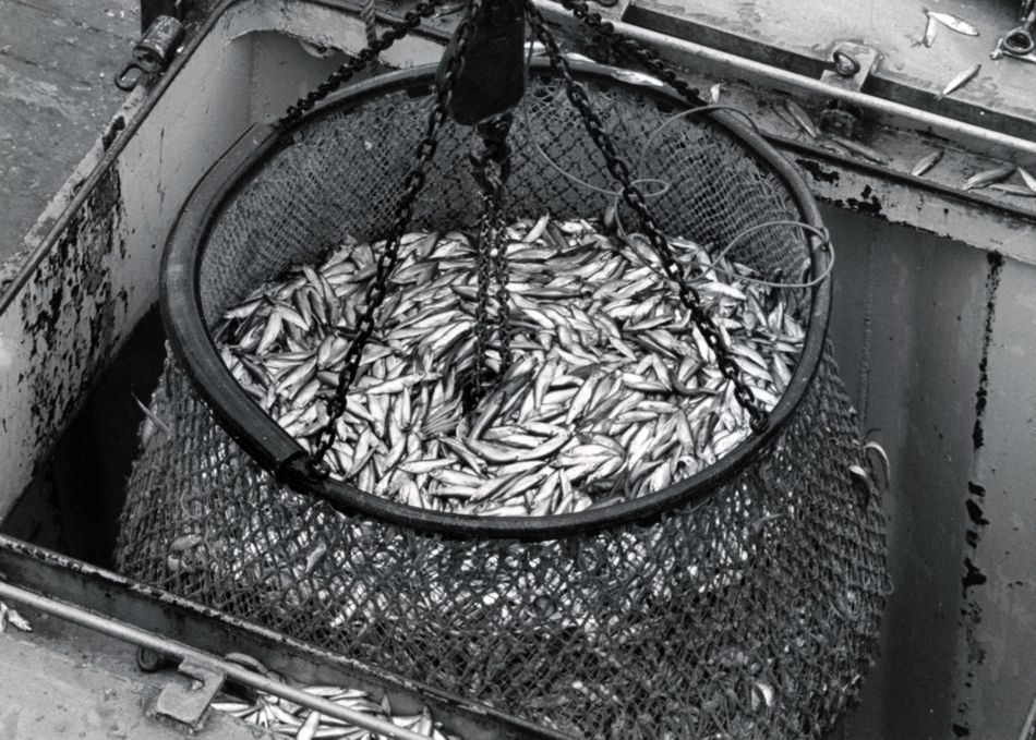 A brail of pilchards is discharged from the purse seiner