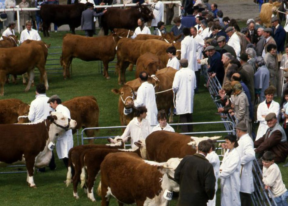 Cattle judging at Royal Cornwall Show