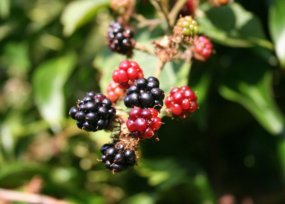 Blackberries growing in Cornwall